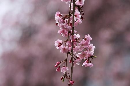2012.04.13 和泉川 ヤエベニシダレ