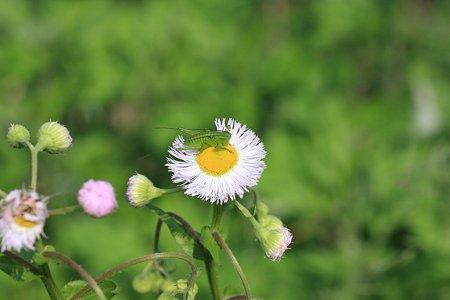 2012.05.08 和泉川 ハルジオンにヤブキリ
