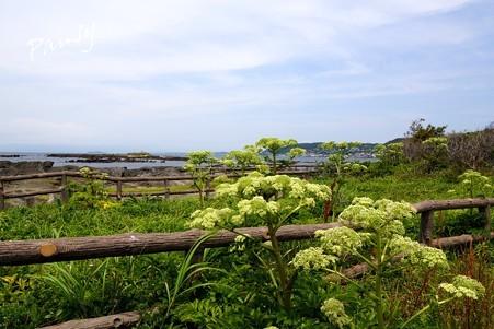 ハマウドの咲く海辺・・