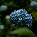 Photos: 姫紫陽花は、明月院ブルー!(110612)