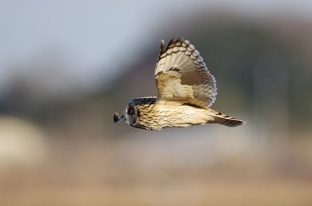 コミミズクの飛翔