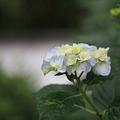 後楽園の紫陽花