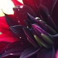 写真: 黒蝶1