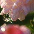 淡いピンクの菊の花に