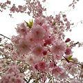 Photos: ~見上げる枝垂桜~