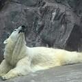 水に入らなかった白クマ