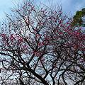 Photos: まだ早い舞鶴公園の梅(5)