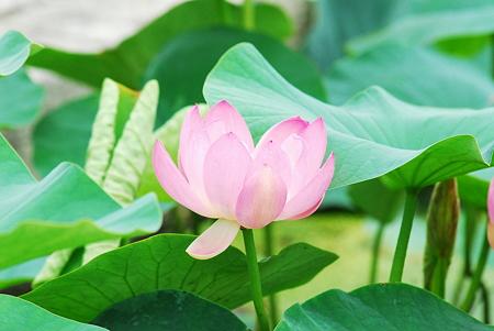 蓮の花03
