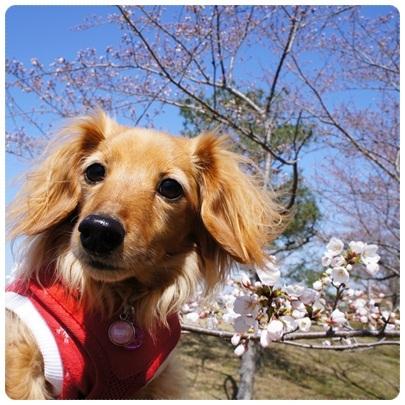 20120408 桜とコラボ