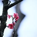 紅梅(1)  古木から可憐に(*゚ー゚)