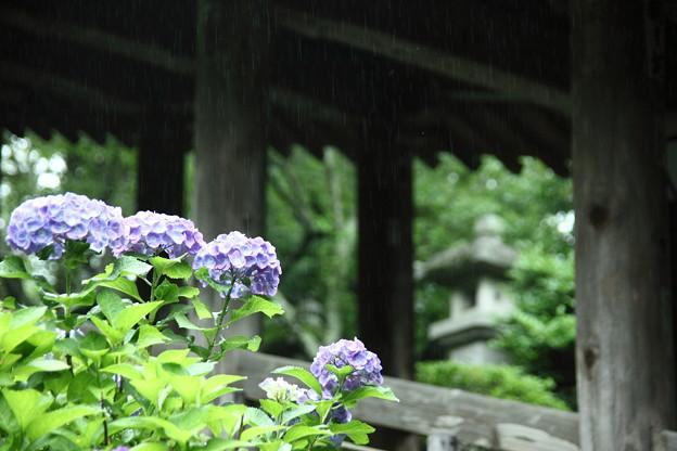 雨の登廊と紫陽花 長谷寺