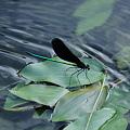 水辺のハグロトンボ (3)