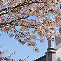 散る桜03