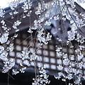 Photos: 桜巡礼`12'(身延、久遠寺、陽光編)-12