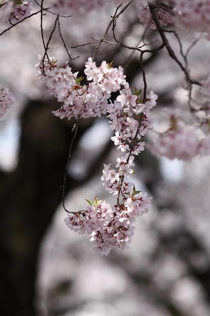 桜`12(竜門淵公園)-5