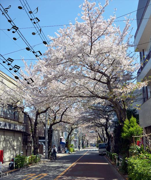 Photos: 音符と桜
