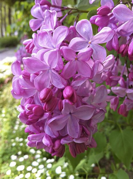 紫の恋人(^^)