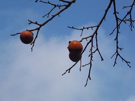 まん丸柿がぽかり