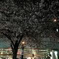 Photos: 日本橋桜